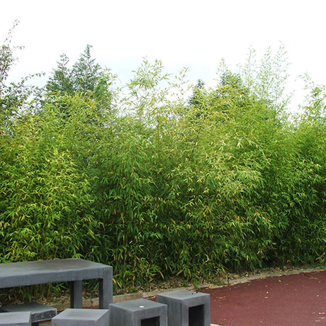Phyllostachys Hedging