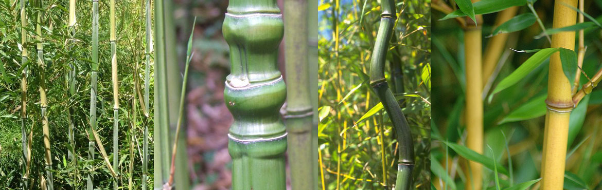 Phyllostachys Bamboo Plants