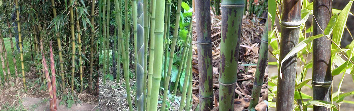 Tall and Specimen Bamboo
