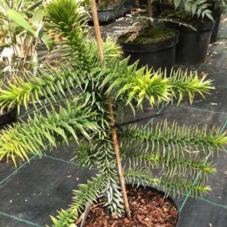If its structure that you are after (and you have the room!) these are definitely the trees for you. These evergreen gigantic beauties provide unrivalled height and are sure to be a talking point.