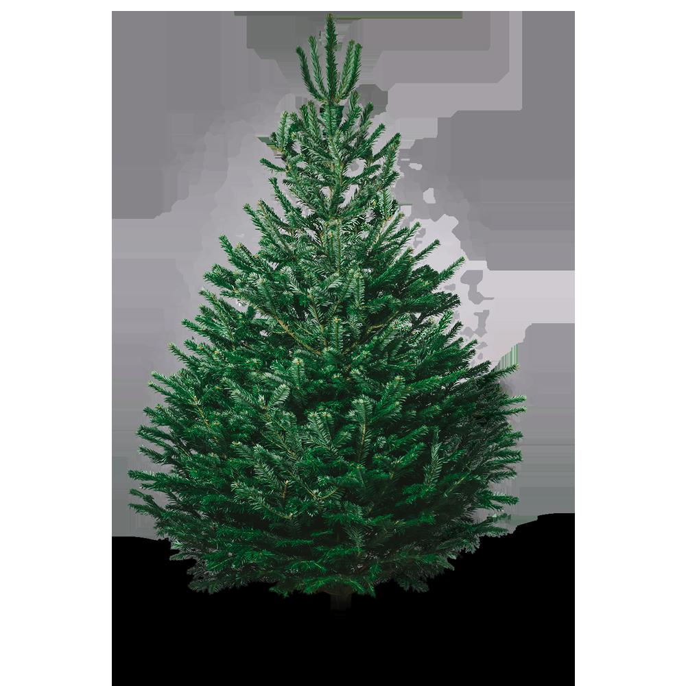 Real Nordmann Fir Christmas Tree